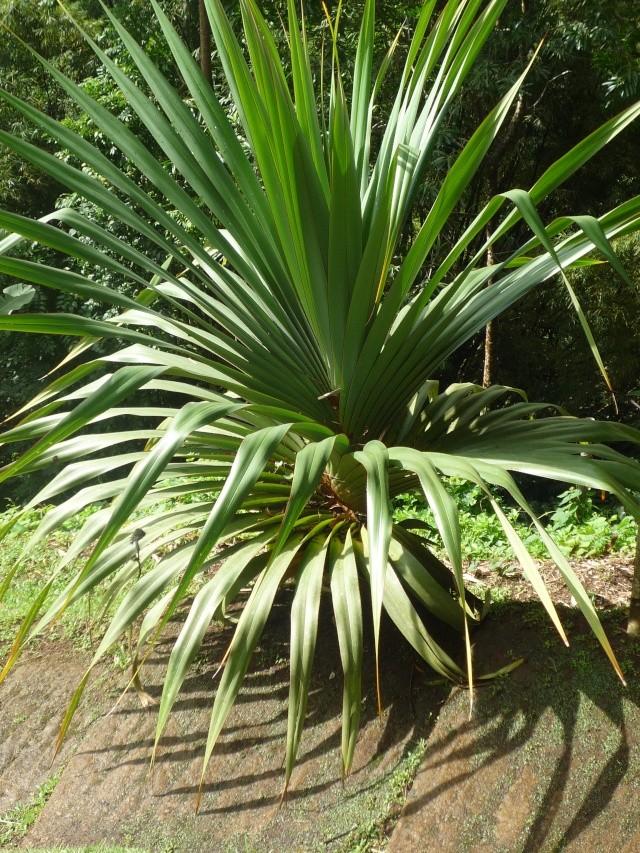 (972) Le jardin botanique de Balata - Martinique - Page 3 P1100772