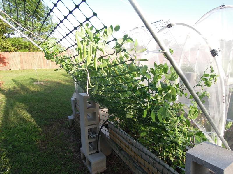 Trellis height for tomato, cukes, etc...? Dscn0510