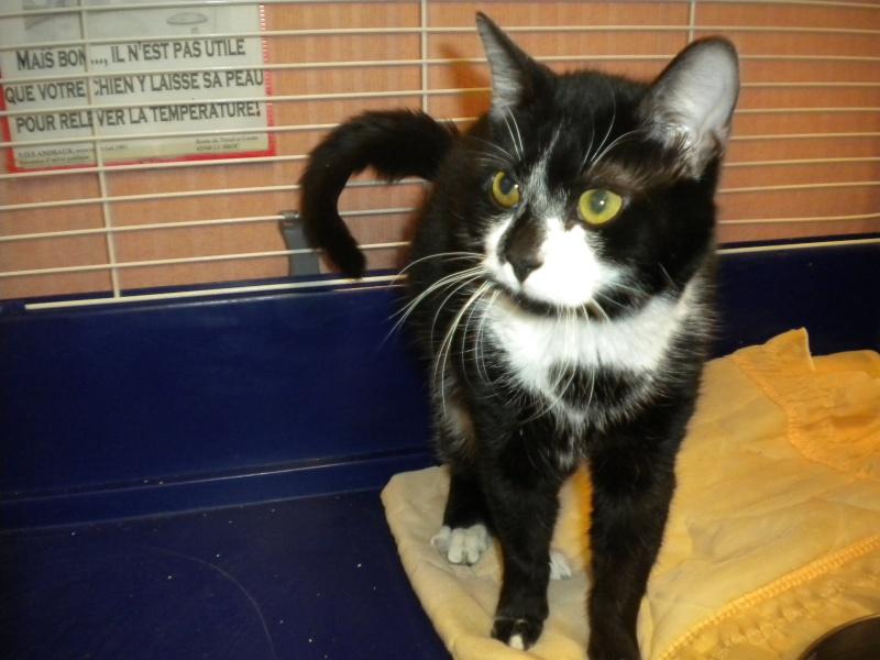 MINUIT ( chat mâle noir et blanc ) réservé Minuit10