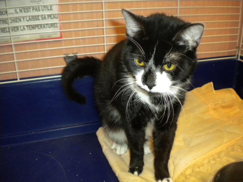 MINUIT ( chat mâle noir et blanc ) réservé Minuit11