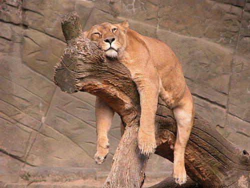 Le LION dans tous ses états Lion110