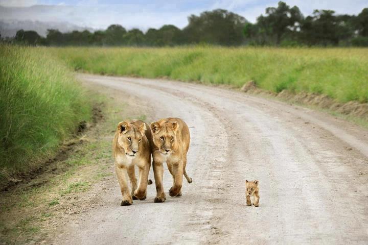 Le LION dans tous ses états Lion_b11