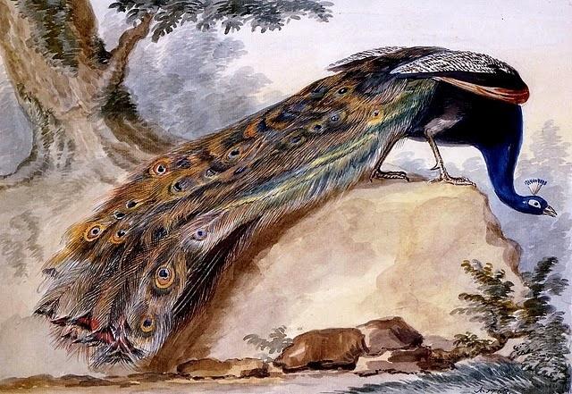 LE PAON: l'oiseau aux cent yeux  Paon_s11