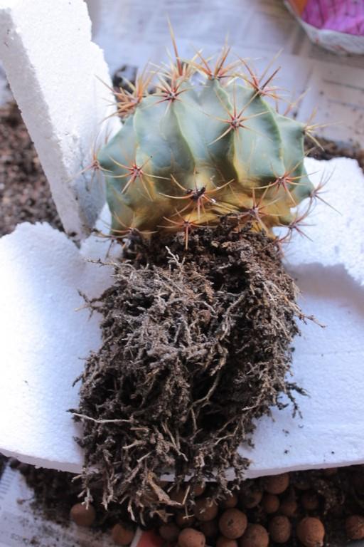 Aujourdui c'est rempotage de mes cactus! :) Img_0822