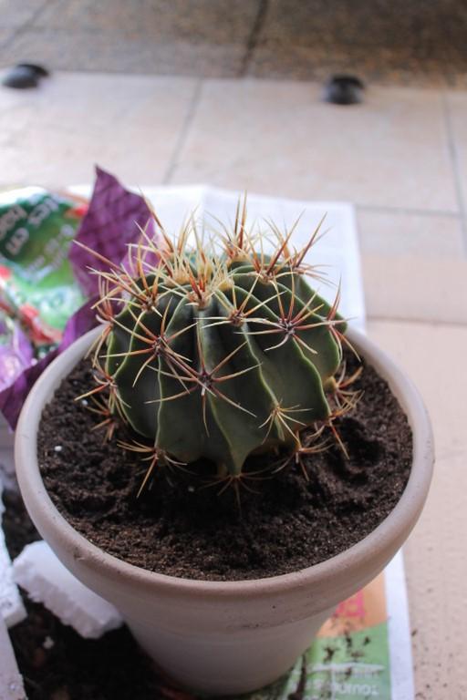 Aujourdui c'est rempotage de mes cactus! :) Img_0824