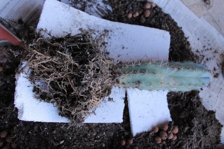 Aujourdui c'est rempotage de mes cactus! :) Img_0825