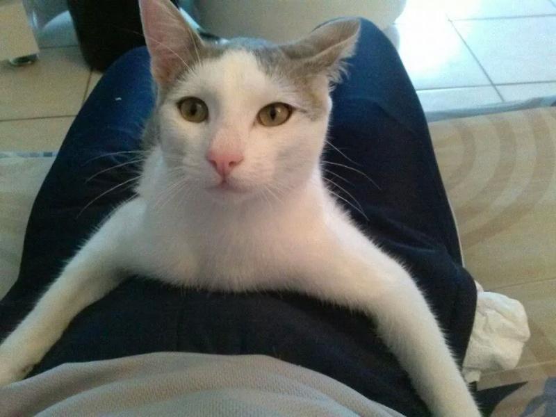 ASTUCE (chaton mâle)gris et blanc réservé Img_2212