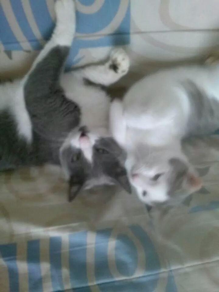 ASTUCE (chaton mâle)gris et blanc réservé Img_2213