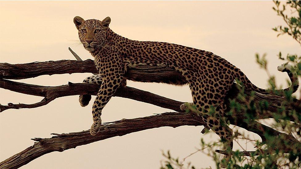 faerybeads - Faerybeads Leopard - sneak peek - Page 2 Image11