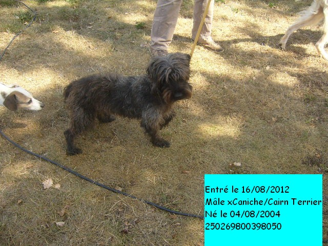 BLACK xCaniche/Cairn Terrier 250269800398050 630bul10
