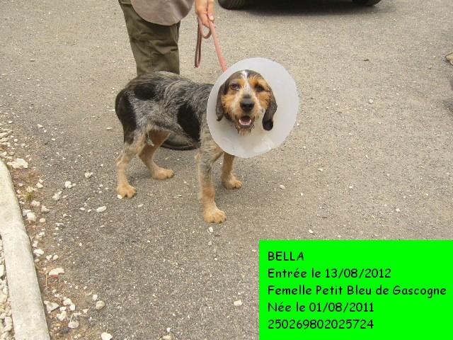 BELLA Petit Bleu de Gascogne 250269802025724 réservée P1130523