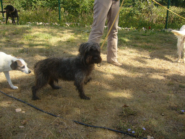 BLACK xCaniche/Cairn Terrier 250269800398050 P1130613