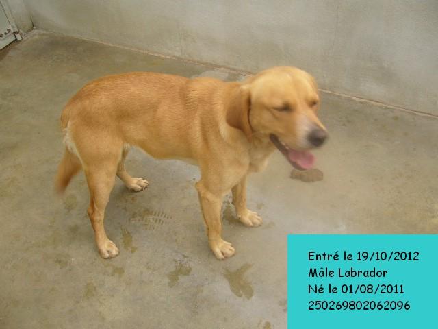 ALFI(Gamin) Labrador sable 250269802062096 P1140133