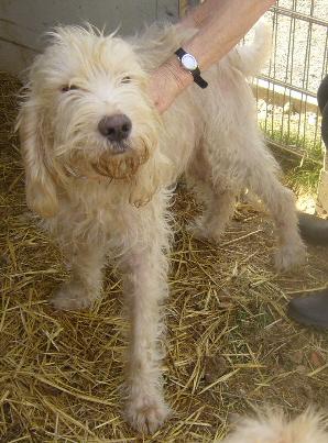 FARINO Griffon Vendéen Briquet 250269604161955 Photo_50