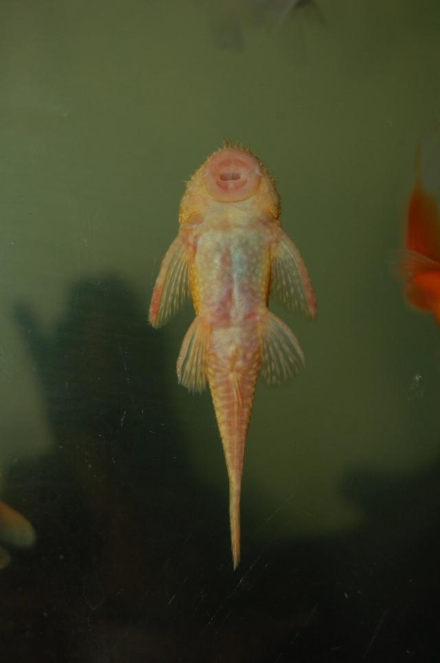 Albino Bristelnose  33110