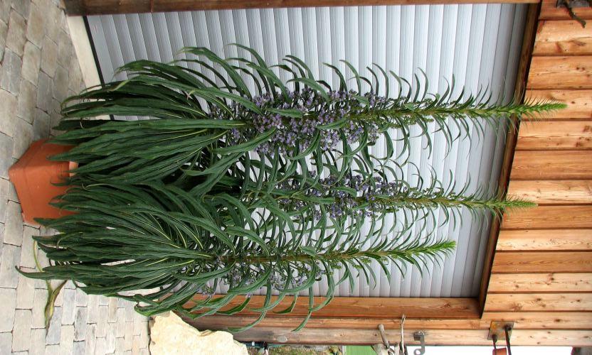 Echium wildpretii - Seite 2 Echium10