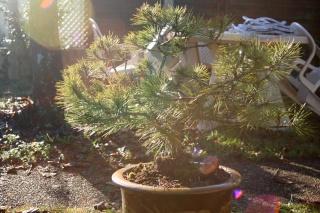Nouveaux plants Landais Pin_2210