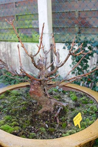 Nouveaux plants Landais Sycomo10