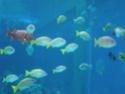 [Visite] Japon : Churaumi Suizokukan (Aquarium d'Okinawa) Dscn6818