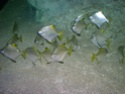 [Visite] Japon : Churaumi Suizokukan (Aquarium d'Okinawa) Dscn6821