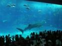 [Visite] Japon : Churaumi Suizokukan (Aquarium d'Okinawa) Dscn6828