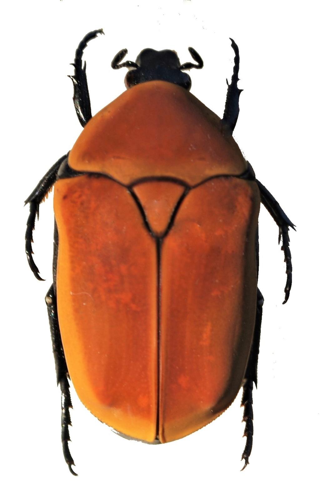 Pachnoda savigny Gory et Percheron 1833 ssp. consentanea Schaum - Page 2 Pachno10