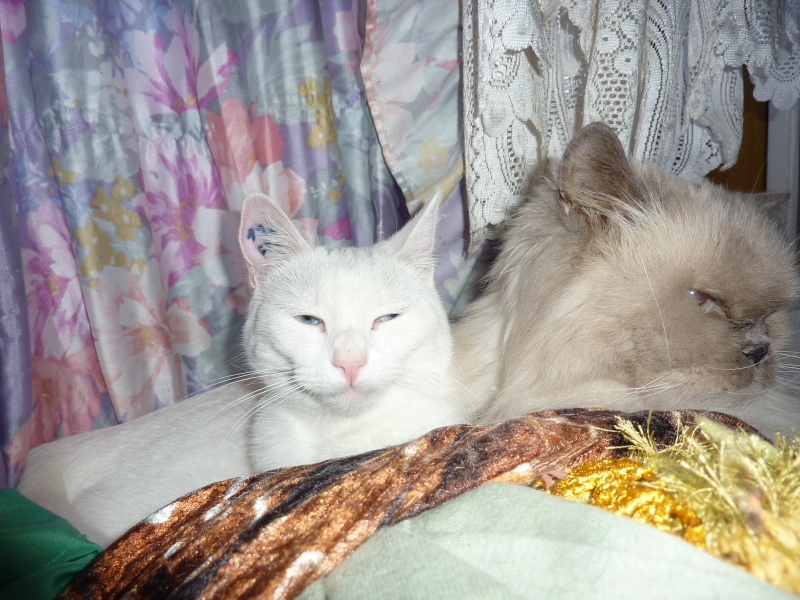 Haeleen née en août 2012 - Croisée siamoise blanche  Haleen10