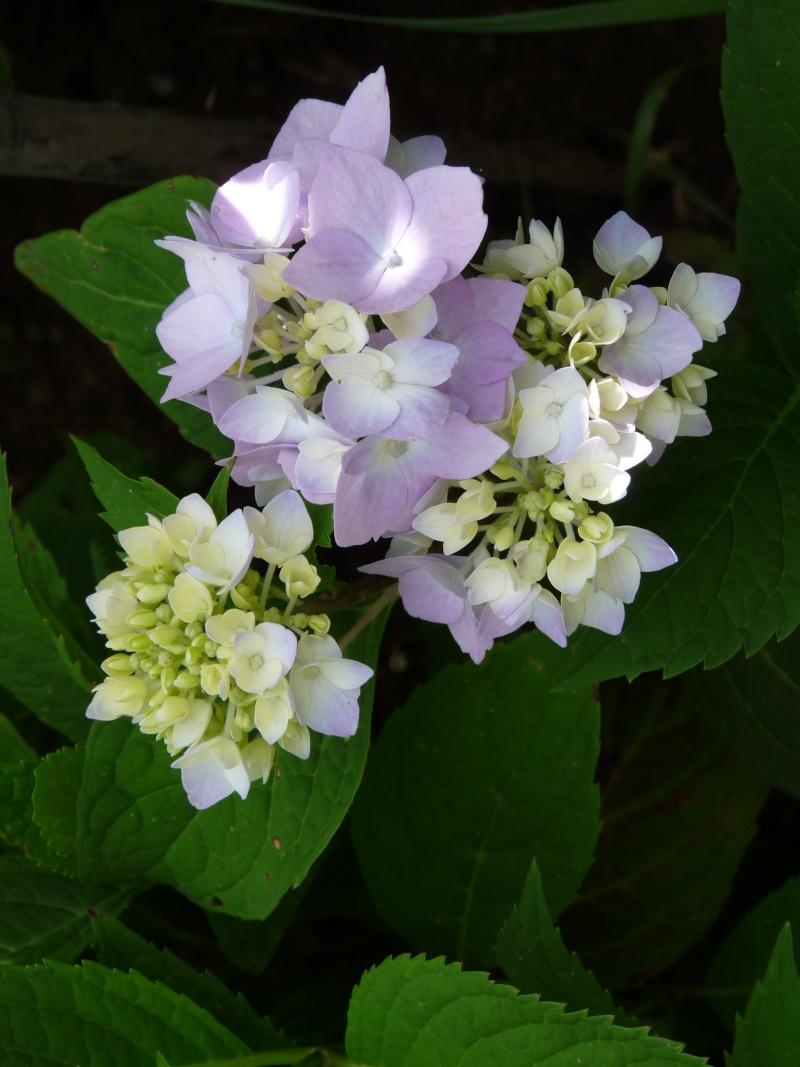 Floraison des Hydrangeas 'Endless Summer Collection' la clef du succès. - Page 2 P1380710