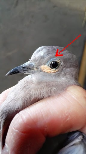 Différences entre les yeux (M. melanoptera). Img_2010