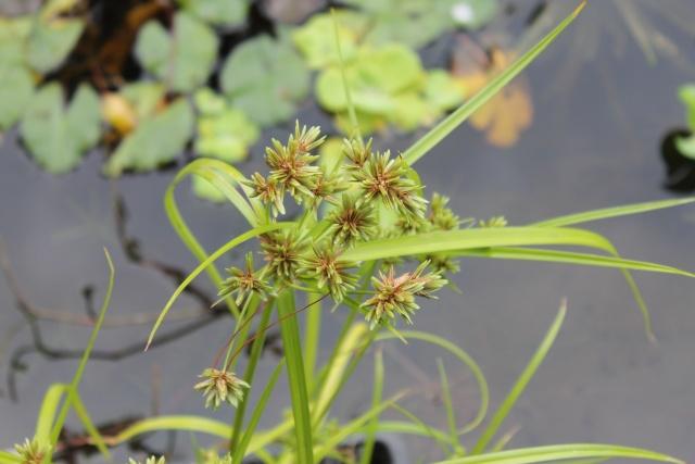 Les plantes aquatiques Img_1932