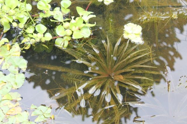 Les plantes aquatiques Img_1934