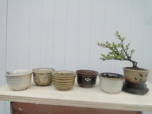bonsai mame  00310