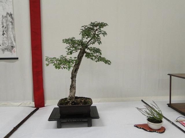 re:maulévrier(49)22°salon du bonsai 8et9septembre 2012 - Page 2 00311