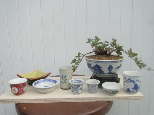 bonsai mame  00411