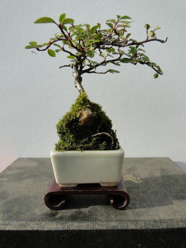 bonsai mame  00612