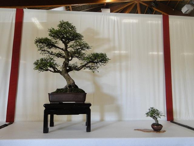 re:maulévrier(49)22°salon du bonsai 8et9septembre 2012 - Page 3 00910