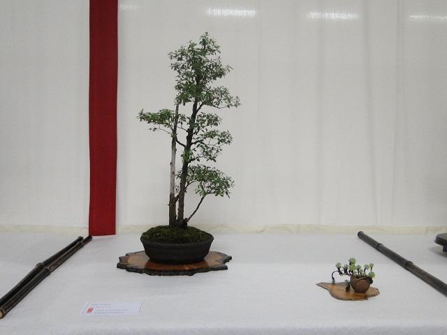 re:maulévrier(49)22°salon du bonsai 8et9septembre 2012 - Page 3 01310