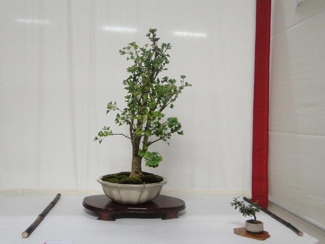 re:maulévrier(49)22°salon du bonsai 8et9septembre 2012 - Page 3 01410