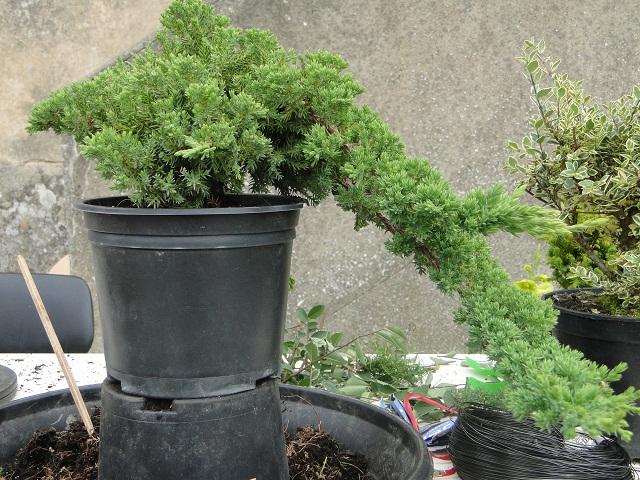 re:juniperus procumbens nana  01511