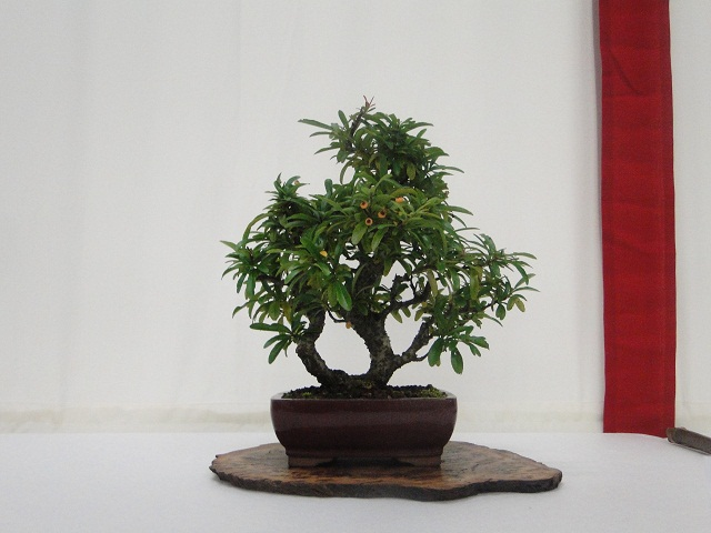 re:maulévrier(49)22°salon du bonsai 8et9septembre 2012 - Page 3 01610