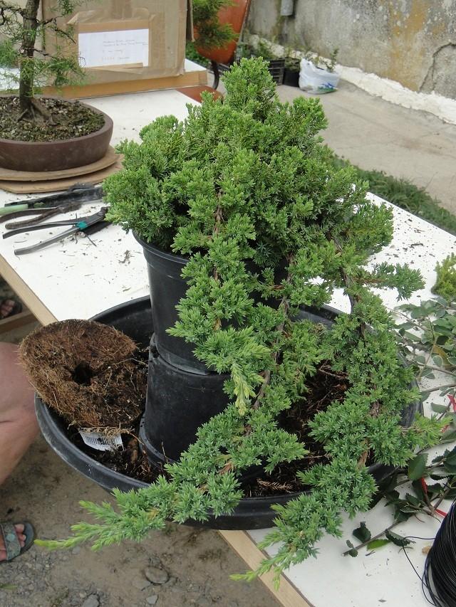 re:juniperus procumbens nana  01612