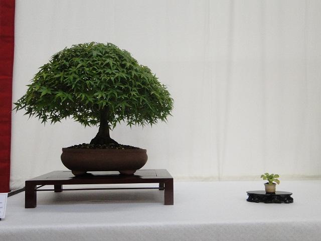 re:maulévrier(49)22°salon du bonsai 8et9septembre 2012 01710