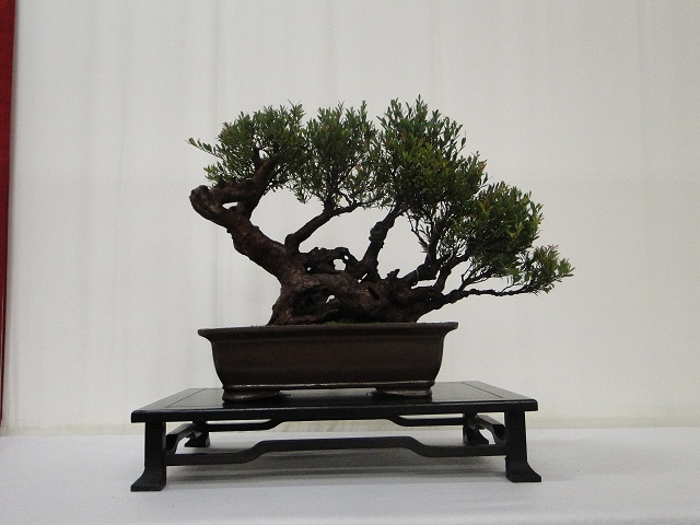re:maulévrier(49)22°salon du bonsai 8et9septembre 2012 - Page 2 01810
