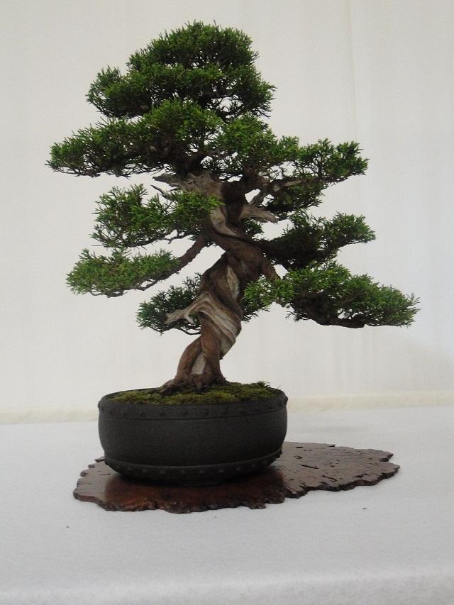 re:maulévrier(49)22°salon du bonsai 8et9septembre 2012 01910