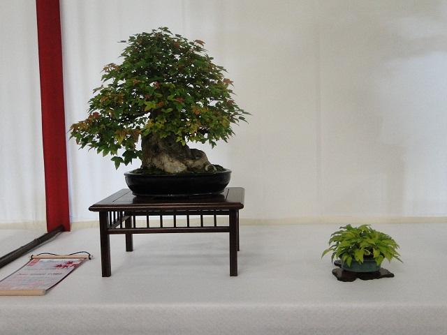 re:maulévrier(49)22°salon du bonsai 8et9septembre 2012 02010
