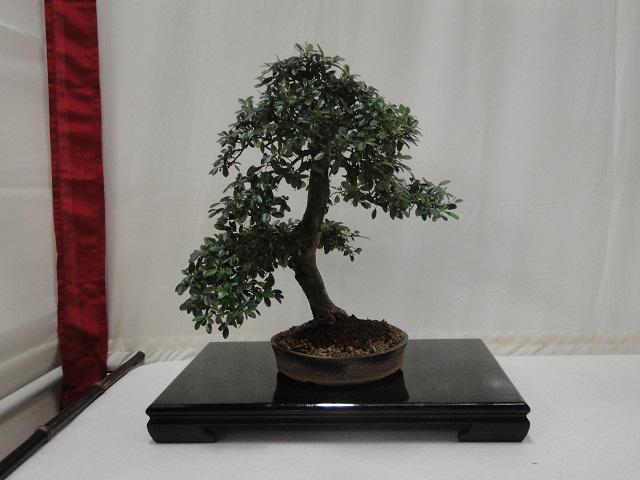 re:maulévrier(49)22°salon du bonsai 8et9septembre 2012 - Page 3 02410
