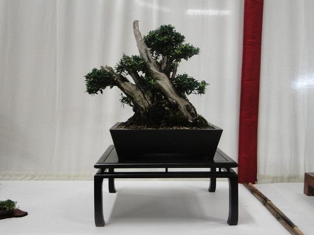 re:maulévrier(49)22°salon du bonsai 8et9septembre 2012 - Page 2 02510