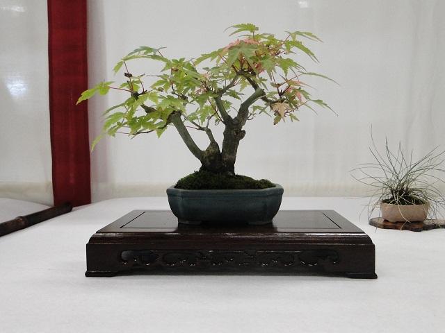 re:maulévrier(49)22°salon du bonsai 8et9septembre 2012 - Page 2 03210
