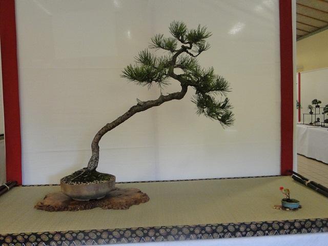 re:maulévrier(49)22°salon du bonsai 8et9septembre 2012 03510