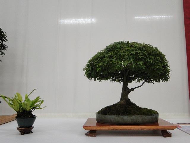re:maulévrier(49)22°salon du bonsai 8et9septembre 2012 - Page 3 03810